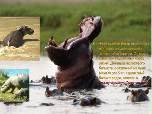 Карликовый бегемот населяет медленно текущие водоемы Центральной Африки. Он