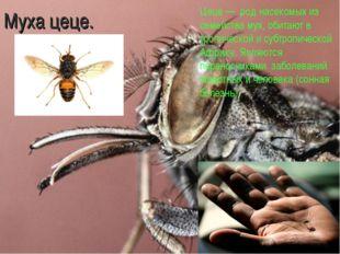 Муха цеце. Цеце — род насекомых из семейства мух, обитают в тропической и суб