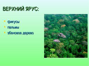 ВЕРХНИЙ ЯРУС: фикусы пальмы эбеновое дерево