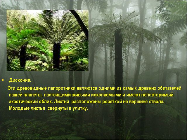Дискония. Эти древовидные папоротники являются одними из самых древних обитат...