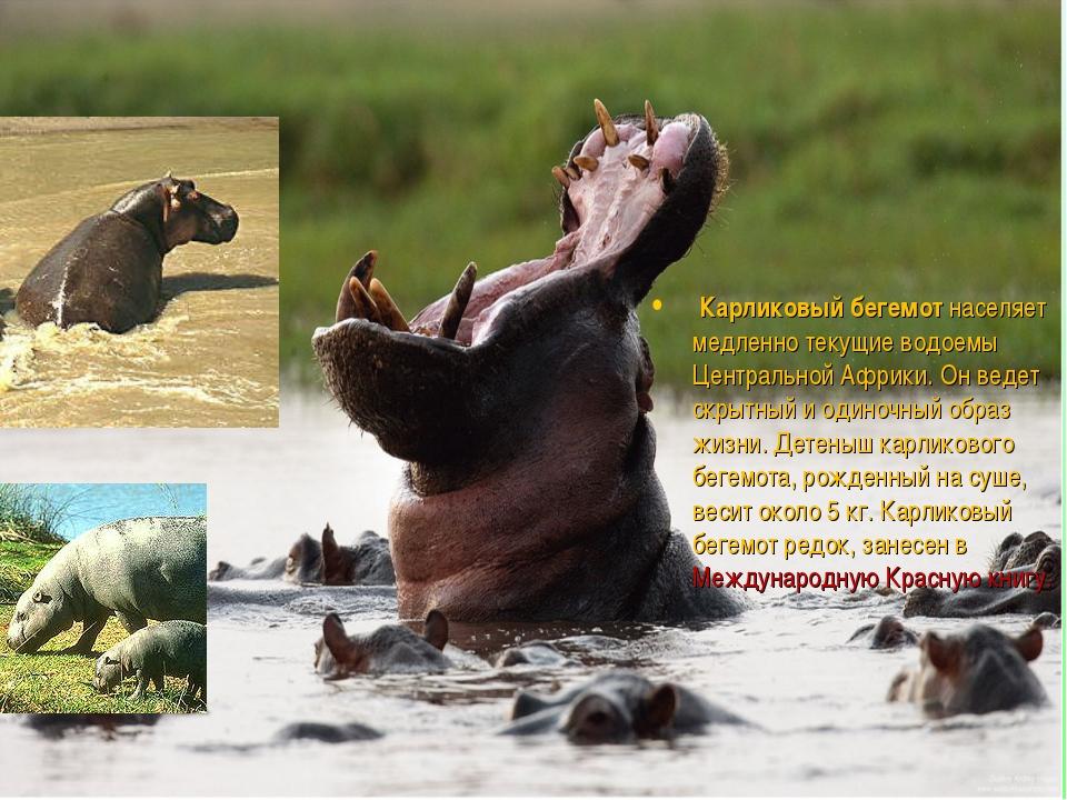 Карликовый бегемот населяет медленно текущие водоемы Центральной Африки. Он...