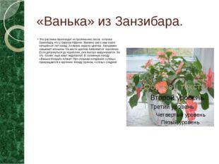 «Ванька» из Занзибара. Это растение происходит из тропических лесов острова З