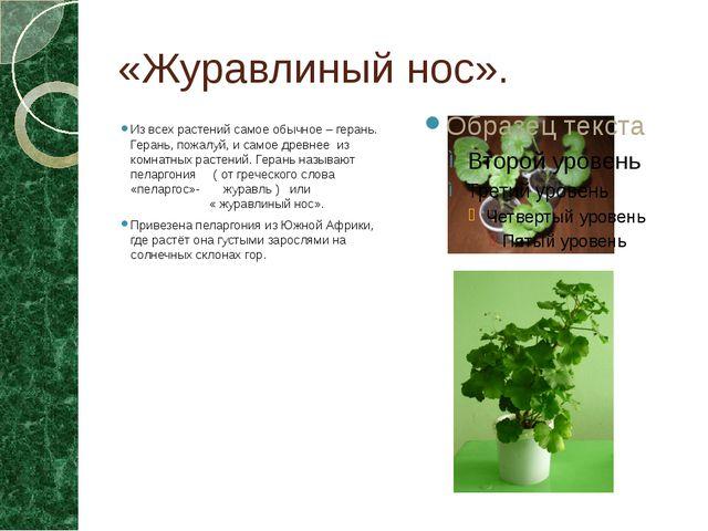 «Журавлиный нос». Из всех растений самое обычное – герань. Герань, пожалуй, и...