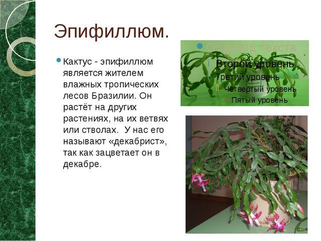 Эпифиллюм. Кактус - эпифиллюм является жителем влажных тропических лесов Браз...