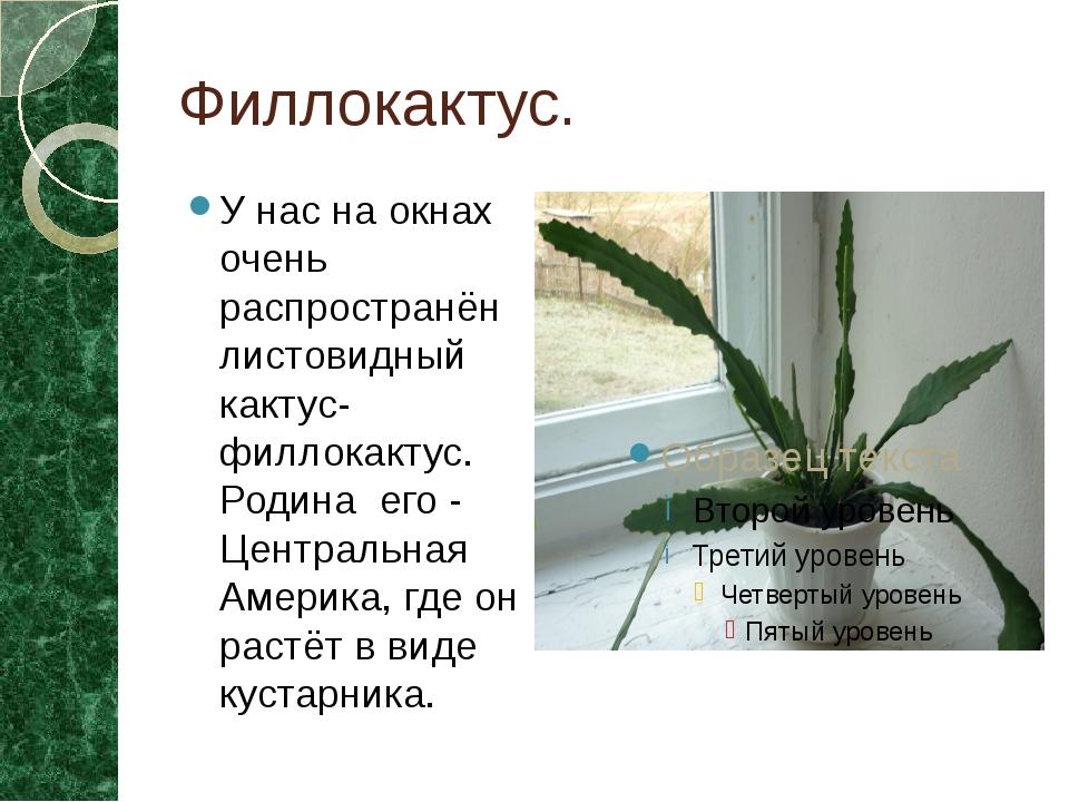 Филлокактус. У нас на окнах очень распространён листовидный кактус-филлокакту...