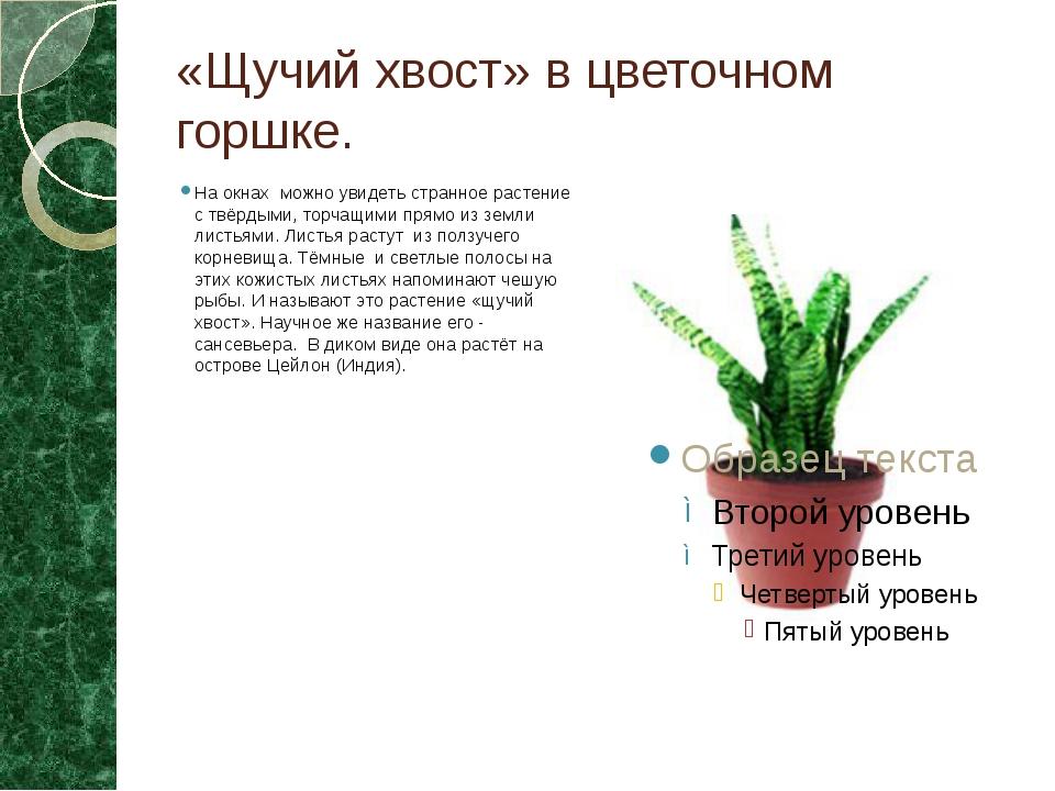 «Щучий хвост» в цветочном горшке. На окнах можно увидеть странное растение с...