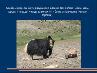 Основные породы скота, пасущиеся в долинах Сайлюгема - овцы, козы, коровы и л