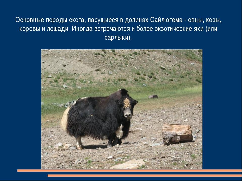 Основные породы скота, пасущиеся в долинах Сайлюгема - овцы, козы, коровы и л...