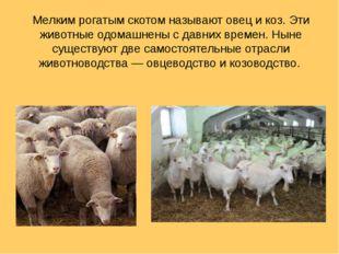 Мелким рогатым скотом называют овец и коз. Эти животные одомашнены с давних в