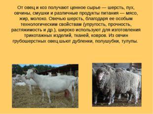 От овец и коз получают ценное сырье— шерсть, пух, овчины, смушки и различные