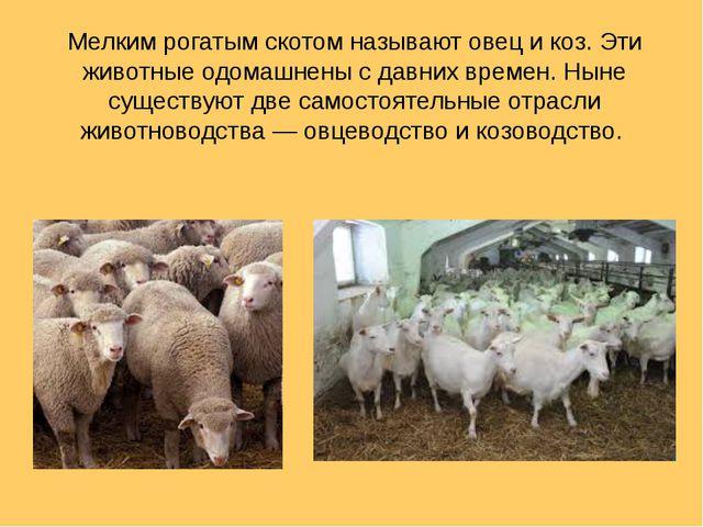 Мелким рогатым скотом называют овец и коз. Эти животные одомашнены с давних в...