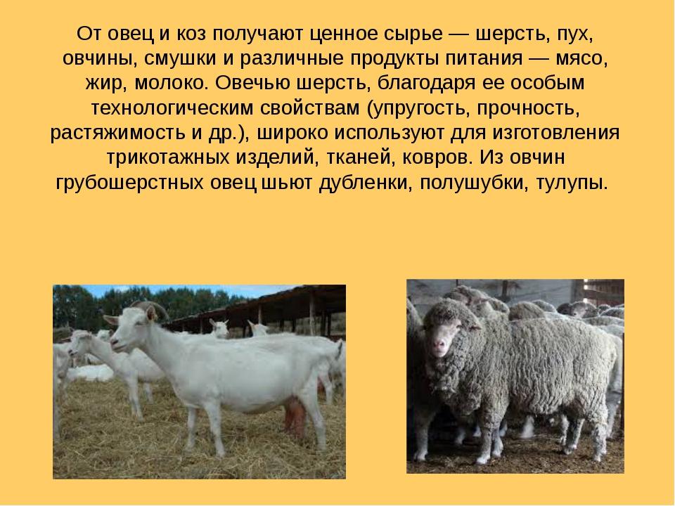 От овец и коз получают ценное сырье— шерсть, пух, овчины, смушки и различные...