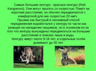 Самые большие кенгуру - красные кенгуру (Red Kangaroos). Они могут прыгать с