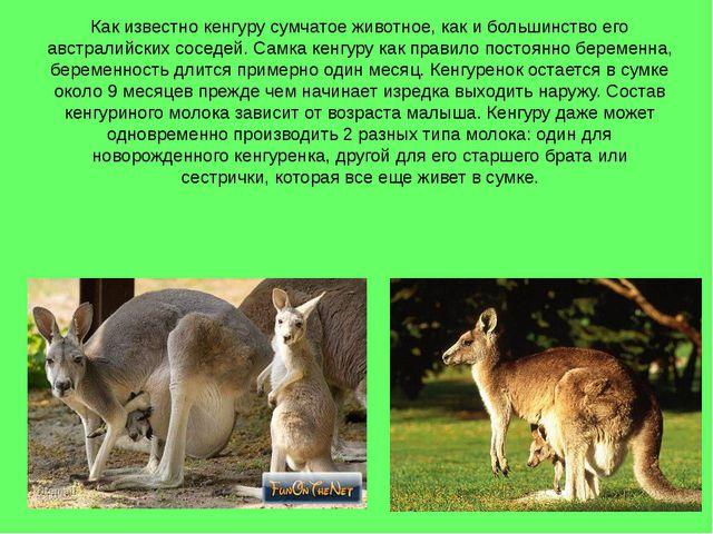 Как известно кенгуру сумчатое животное, как и большинство его австралийских с...