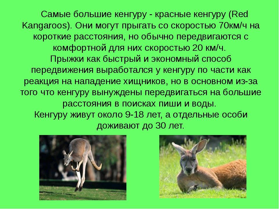 Самые большие кенгуру - красные кенгуру (Red Kangaroos). Они могут прыгать с...