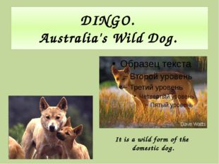 DINGO. Australia's Wild Dog. It is a wild form of the domestic dog.