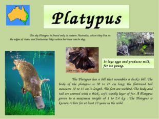 Platypus The shy Platypus is found only in eastern Australia, where they live