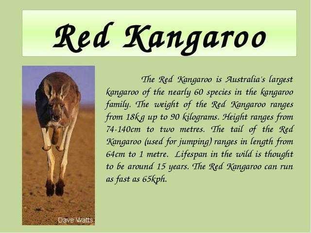 Red Kangaroo The Red Kangaroo is Australia's largest kangaroo of the nearly 6...