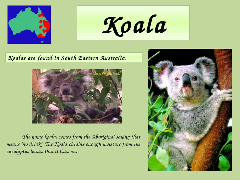 """Koala The name koala, comes from the Aboriginal saying that means """"no drink""""...."""