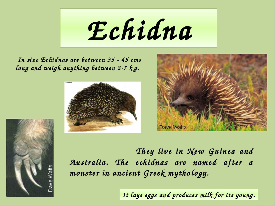 Echidna They live in New Guinea and Australia. The echidnas are named after a...