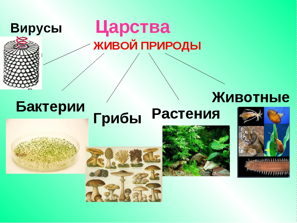 Царства Бактерии Грибы Растения Животные Вирусы ЖИВОЙ ПРИРОДЫ