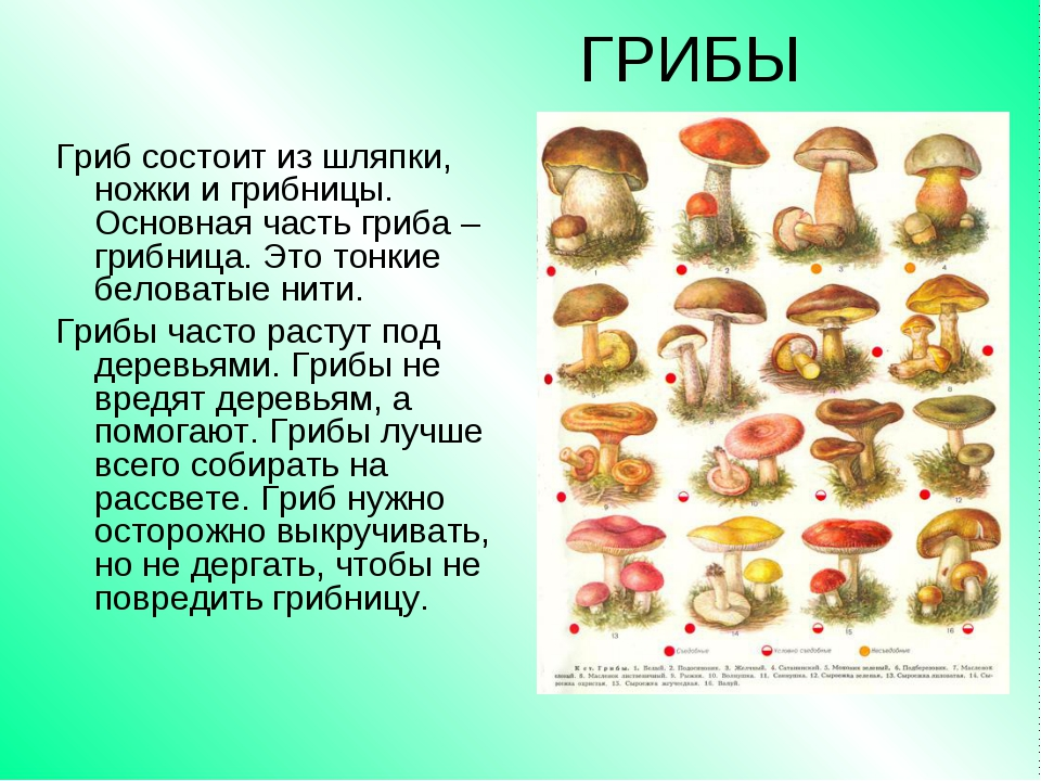 ГРИБЫ Гриб состоит из шляпки, ножки и грибницы. Основная часть гриба – грибни...