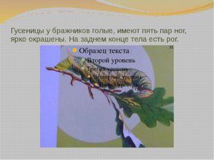 Гусеницы у бражников голые, имеют пять пар ног, ярко окрашены. На заднем конц