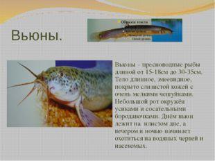 Вьюны. Вьюны – пресноводные рыбы длиной от 15-18см до 30-35см. Тело длинное,