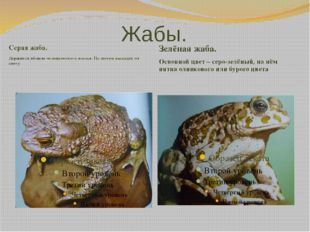 Жабы. Серая жаба. Держится вблизи человеческого жилья. По ночам выходит на ох