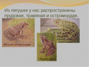 Из лягушек у нас распространены прудовая, травяная и остромордая.