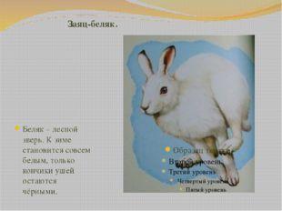 Заяц-беляк. Беляк – лесной зверь. К зиме становится совсем белым, только кон