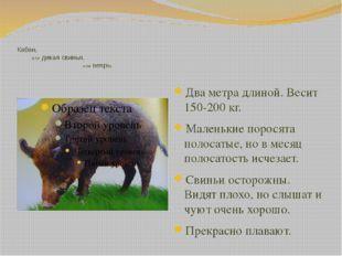 Кабан, или дикая свинья, или вепрь. Два метра длиной. Весит 150-200 кг. Мале