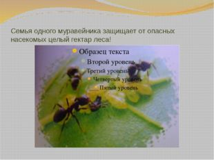Семья одного муравейника защищает от опасных насекомых целый гектар леса!