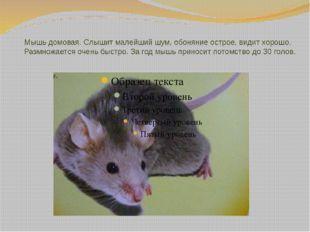 Мышь домовая. Слышит малейший шум, обоняние острое, видит хорошо. Размножаетс