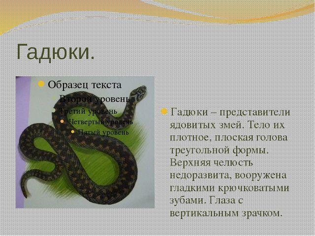 Гадюки. Гадюки – представители ядовитых змей. Тело их плотное, плоская голова...