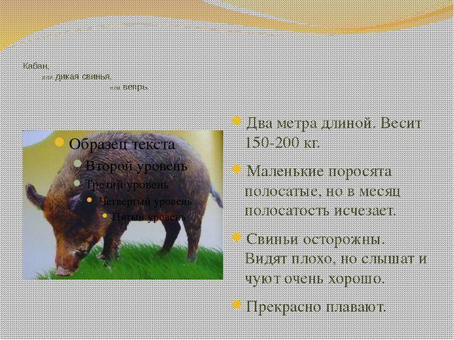 Кабан, или дикая свинья, или вепрь. Два метра длиной. Весит 150-200 кг. Мале...