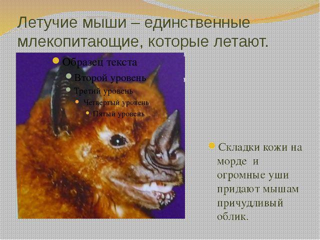 Летучие мыши – единственные млекопитающие, которые летают. Складки кожи на мо...