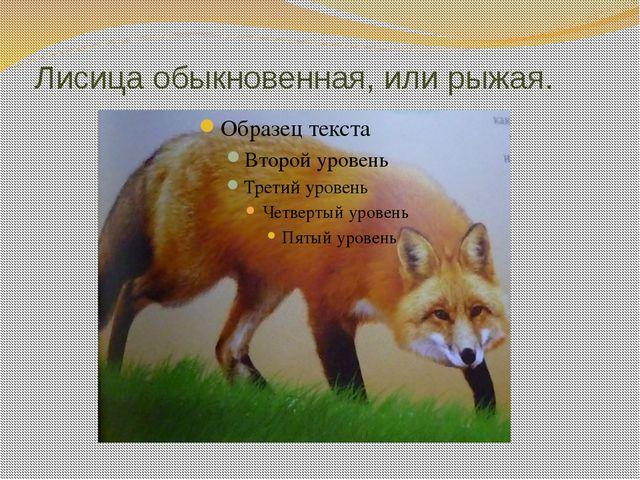 Лисица обыкновенная, или рыжая.