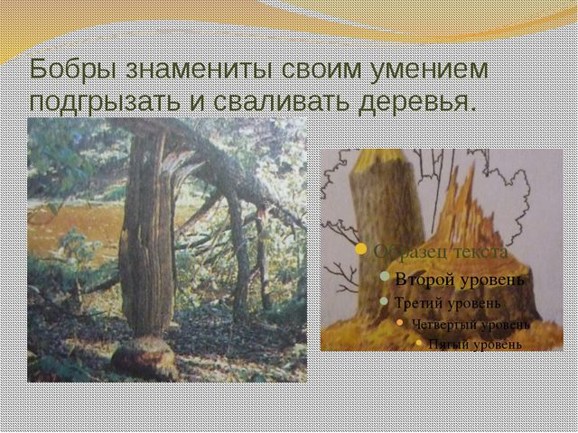 Бобры знамениты своим умением подгрызать и сваливать деревья.