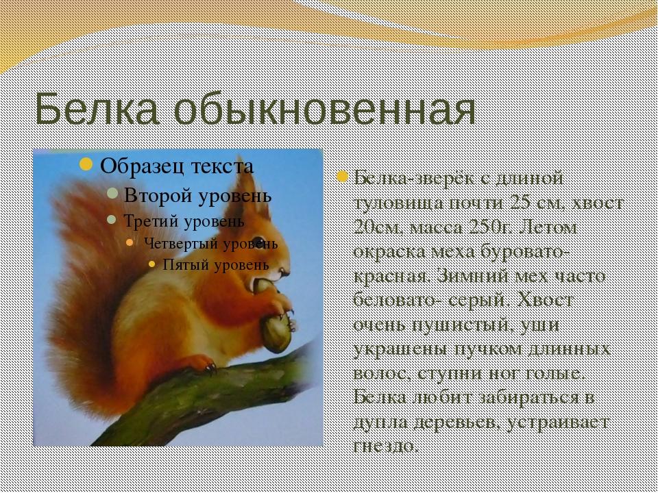 Белка обыкновенная Белка-зверёк с длиной туловища почти 25 см, хвост 20см, ма...