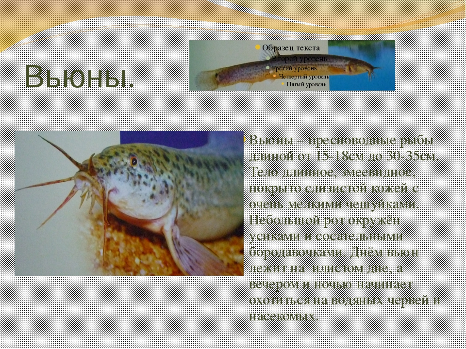 Вьюны. Вьюны – пресноводные рыбы длиной от 15-18см до 30-35см. Тело длинное,...