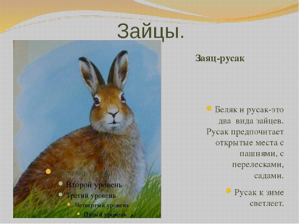 Зайцы. Заяц-русак Беляк и русак-это два вида зайцев. Русак предпочитает откры...