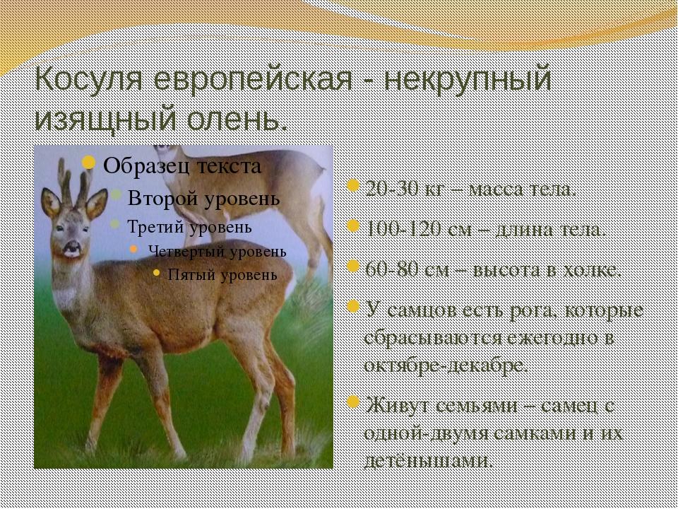 Косуля европейская - некрупный изящный олень. 20-30 кг – масса тела. 100-120...