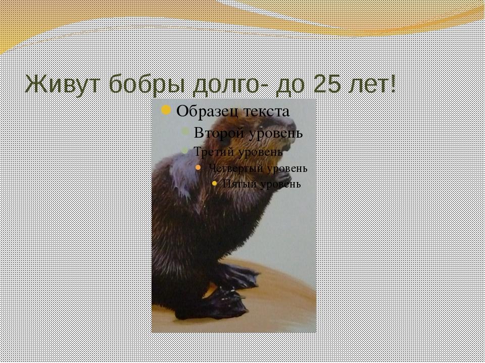 Живут бобры долго- до 25 лет!