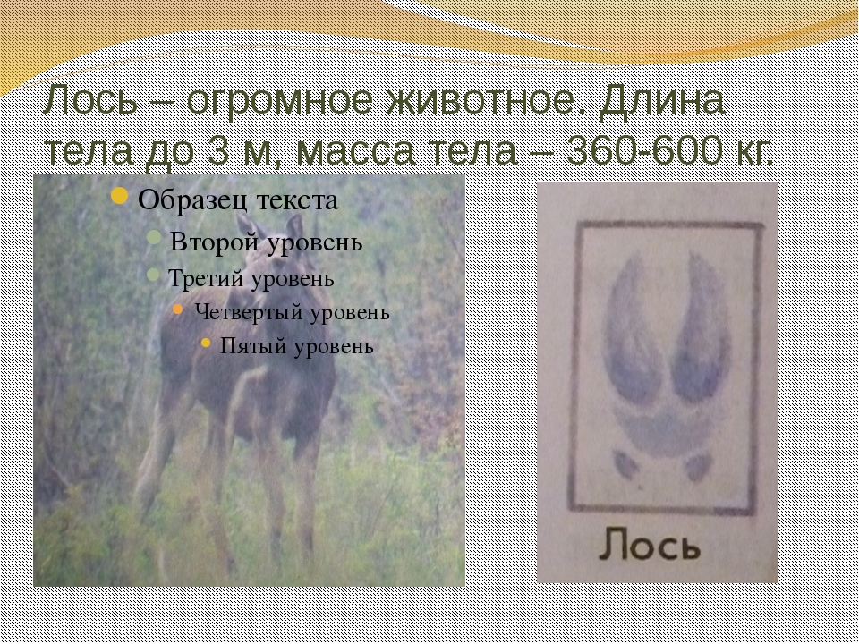 Лось – огромное животное. Длина тела до 3 м, масса тела – 360-600 кг.