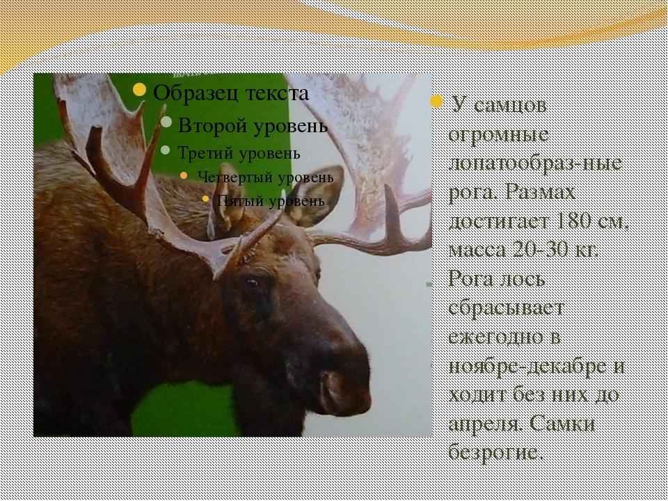 У самцов огромные лопатообраз-ные рога. Размах достигает 180 см, масса 20-30...