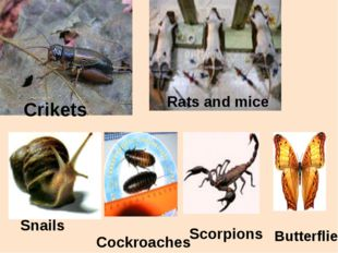 Crikets Rats and mice Snails Cockroaches Scorpions Butterflies