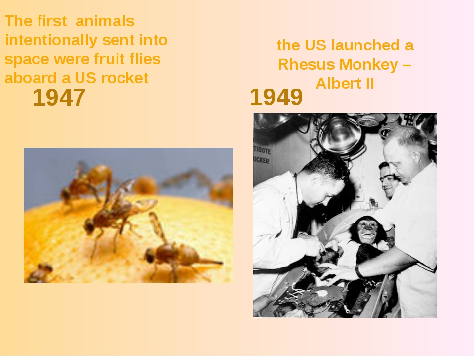 the US launched a Rhesus Monkey – Albert II 1947 1949 The first animals inten...