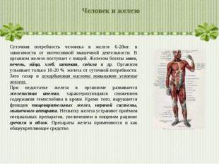 Человек и железо Суточная потребность человека в железе 6-20мг. в зависимости