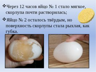 Через 12 часов яйцо № 1 стало мягкое, скорлупа почти растворилась; Яйцо № 2 о